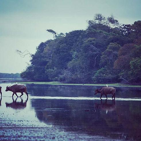 Buffalo Louri River Loango Gabon