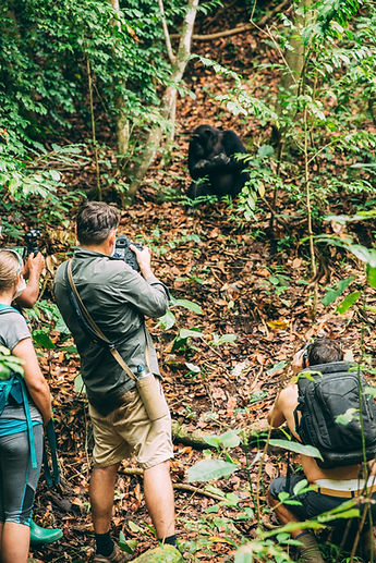 Chimpanzee trekking greystole Mahale tanzania