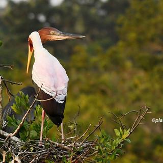 Goliath Heron & Yellow Billed Stork