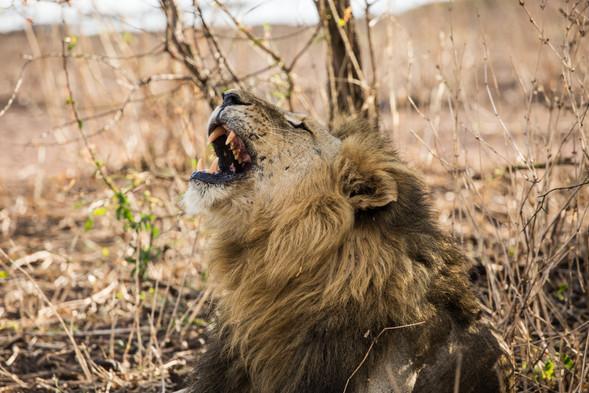 Lion Siwandu, Nyerere, Selous, Tanzania