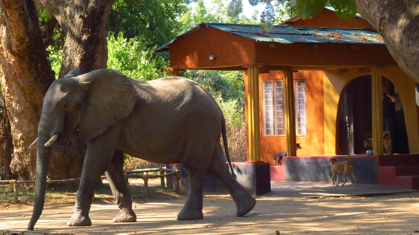 Elephant Passing through camp Zikomo