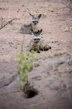 Bat Eared Fox Ruaha Nyerere Tanzania