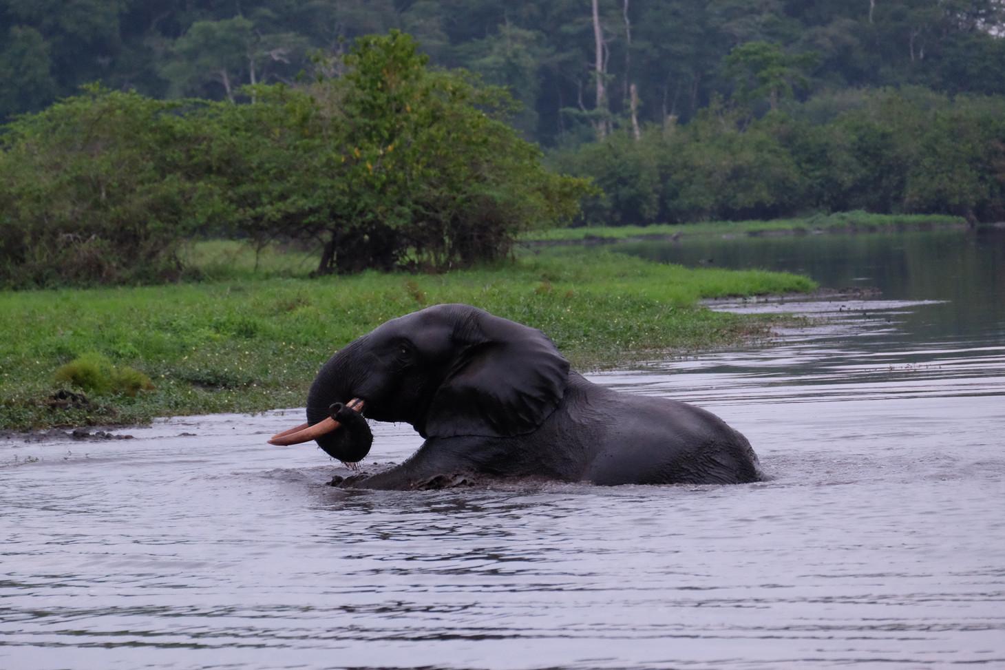 Elephant Crossing Akaka Gabon