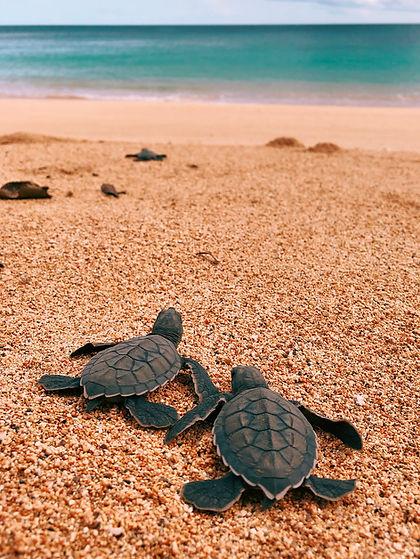 Turtle Hatchlings Príncipe