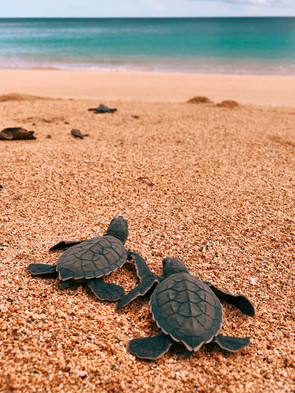 Turtle Hatchlings Principe