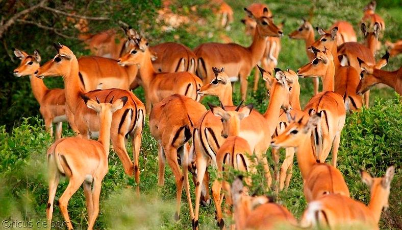 Selous Impala Nyerere Tanzania