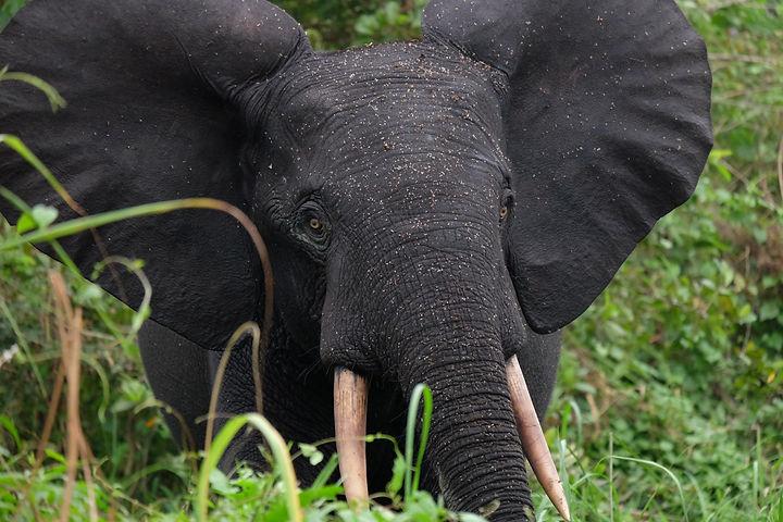 African forest Elephant Gabon