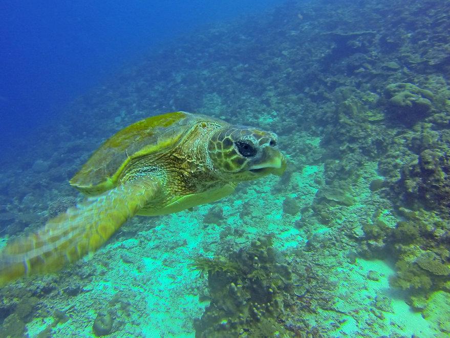 Underwater Diving Turtle fanjove SongoSongo Tanzania