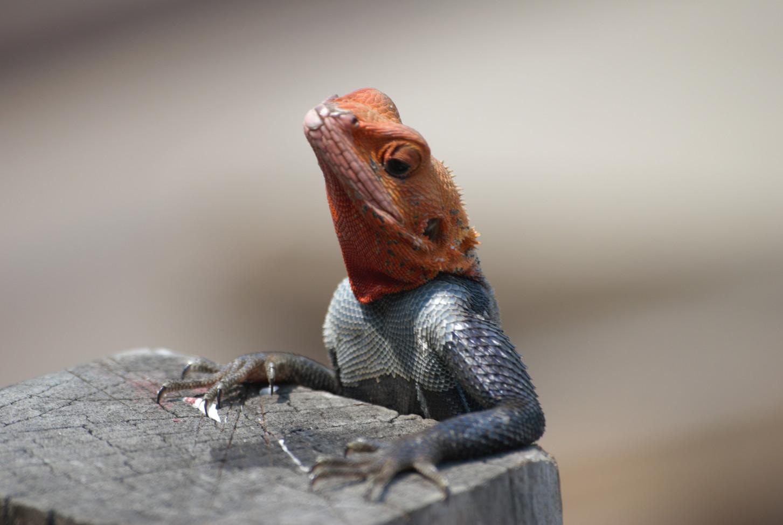 Lizard Loango