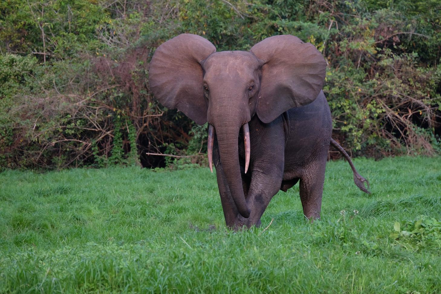 Big Ears Elephant Akaka Loango Gabon