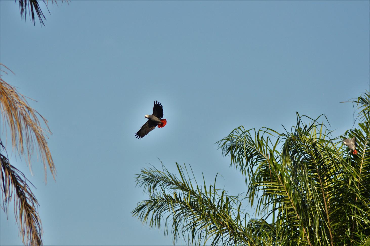 African Grey Parrot Loango