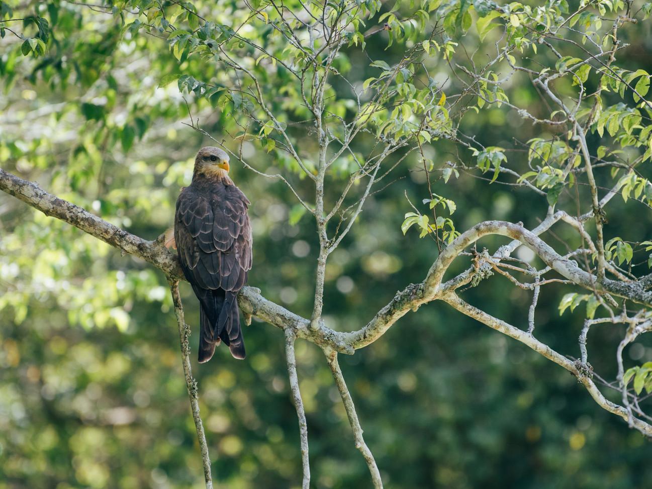 Kite in Rubondo Island Chimp Camp Tanzania