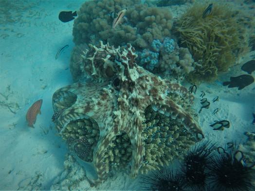 Tanzania Fanjove Island octopus