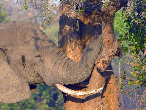 African Savanna Elephant Zikomo Zambia