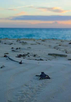 Tanzania - Fanjove Island -  turtle hatchlings
