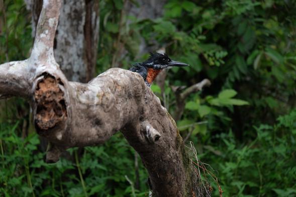 Giant Kingfisher Akaka Loango Gabon