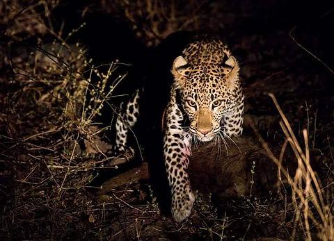 Leopard night safari zikomo zambia.jpg