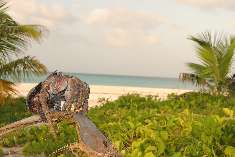 Tanzania - Fanjove Island - coconut crab