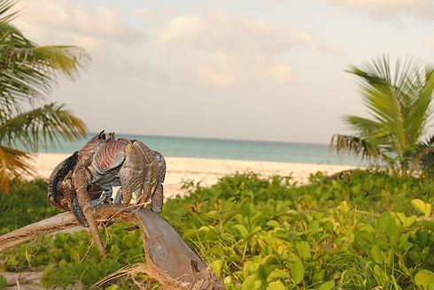 Tanzania Fanjove Island coconut crab