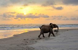 Beach Elephant Gabon