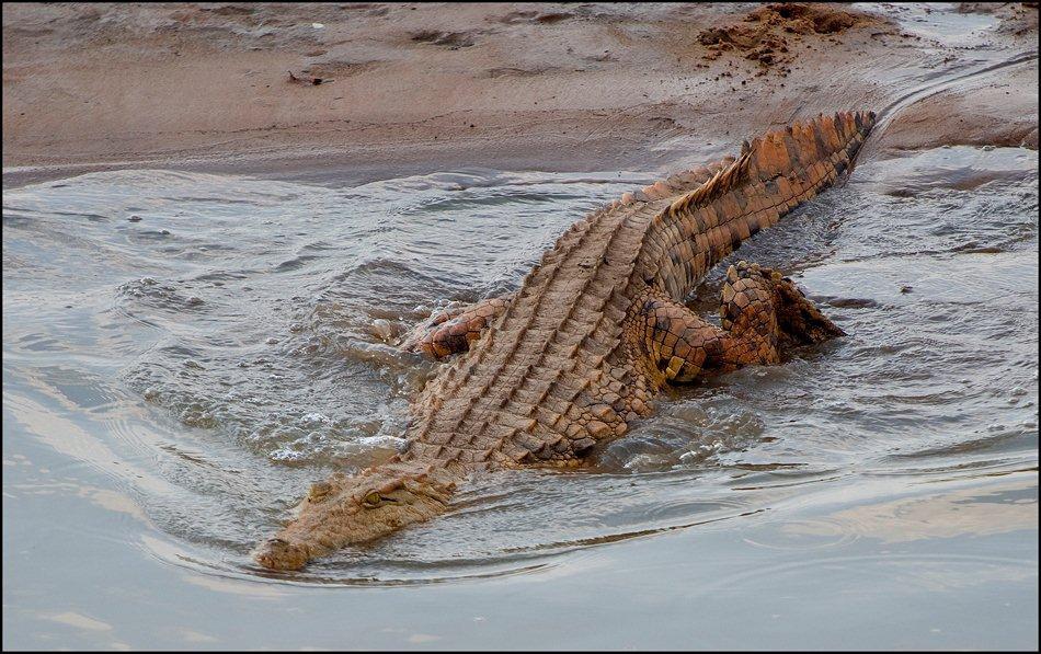 Crocodile South Luangwa Zikomo Zambia