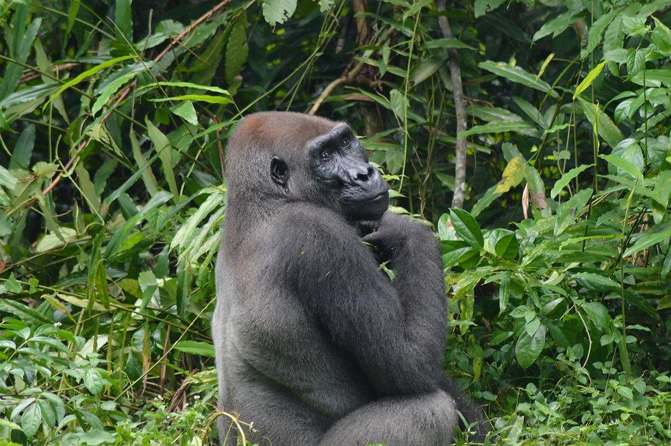 Silverback Gorilla Loango Gabon