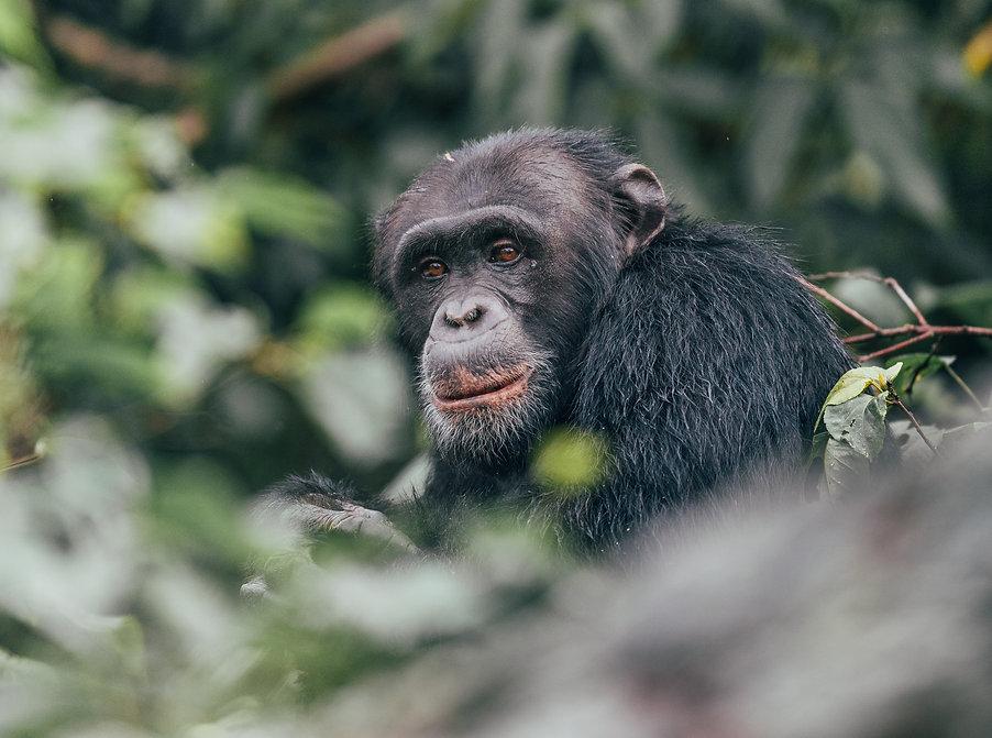 Rubondo Chimpanzee Camp Island Tanzania Chimp