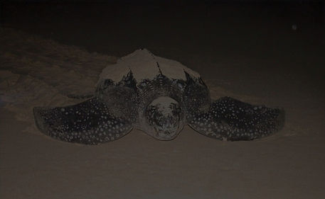 Leatherback Turtle Gabon