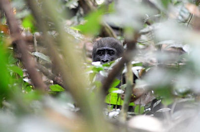 Travel Gabon Loango Gorilla Trekking