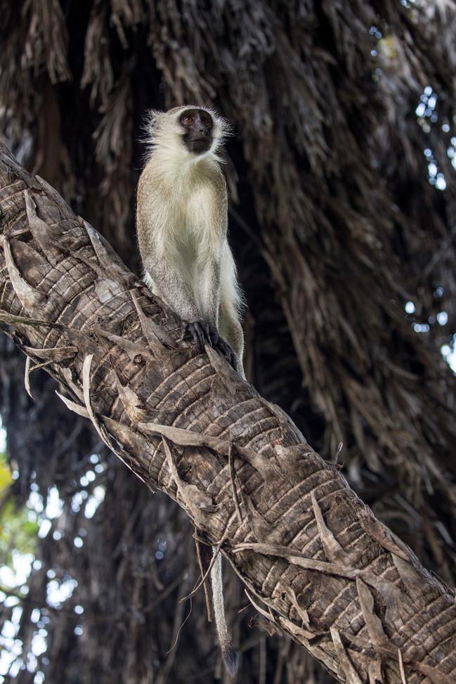 Vervet monkey Ruaha, Tanzania