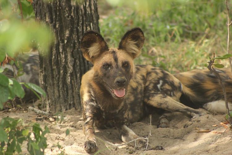 Wild Dog Jongomero, Ruaha, Tanzania