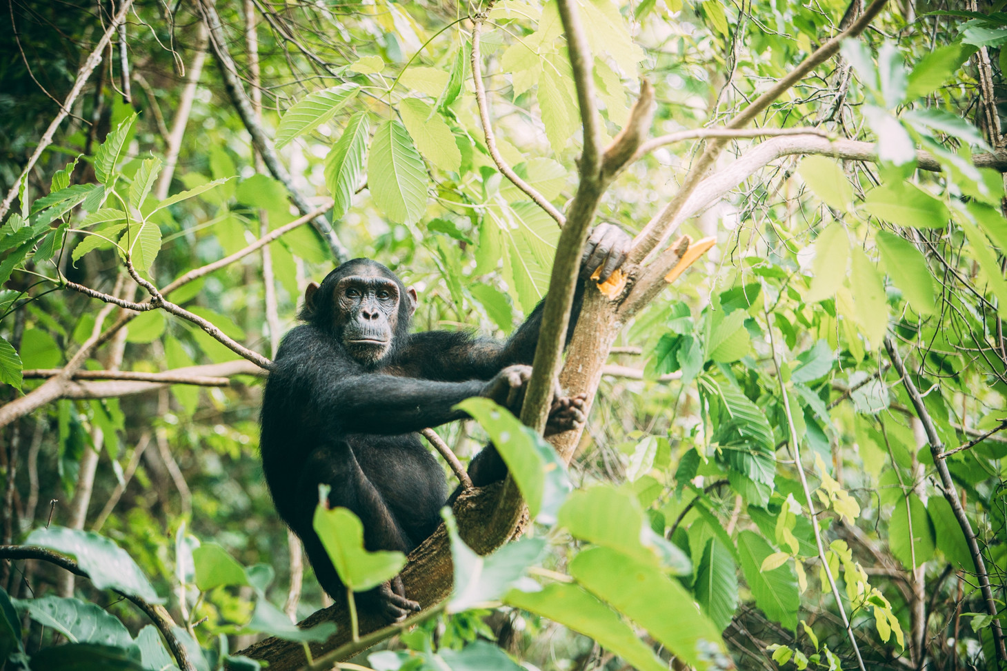 Pensive Chimpanzee at Greystokes, Mahale, Tanzania