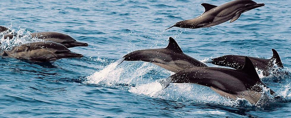 Dolphins Gabon