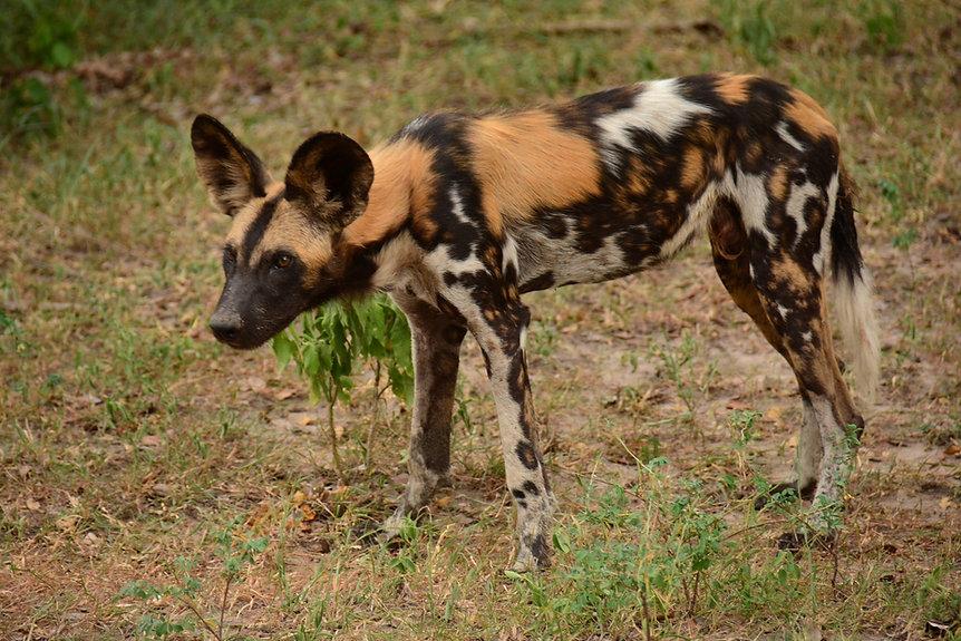 Wild Dog Painted Dog Nyerere Selous Tanzania