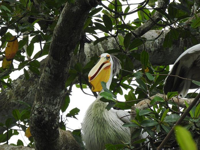 Pelican Loango Gabon