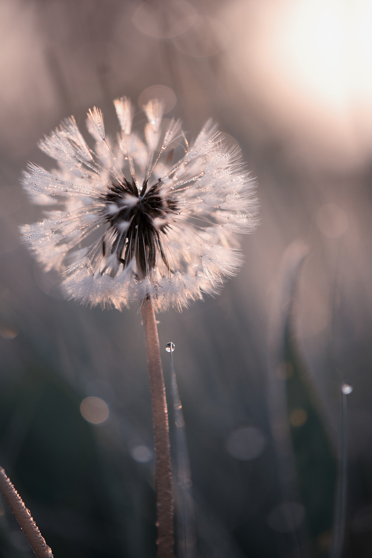 Tiny Spring Dandelion.jpg