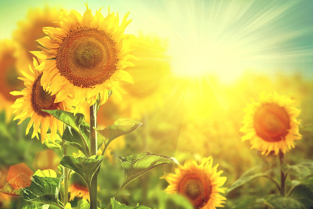Sunflower field. Beautiful sunflowers blooming on the field. Growing yellow flow