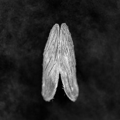 Mango Archival pigment print 50 x50 cm Photography 2017