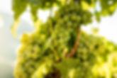 Weinberg-Visperterminen-Trauben.jpg