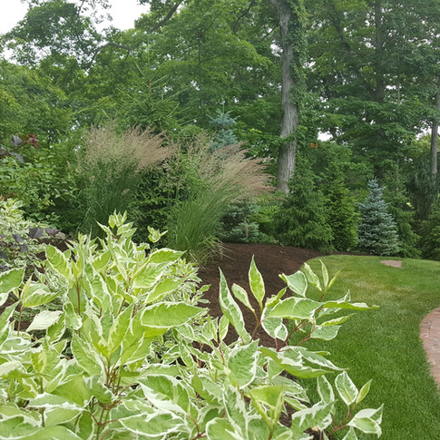 Variegated Ivory Halo Dogwood in the foreground with Ninebark, Ornamental Grasses, and colorful Conifer border in the background.