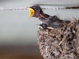 barn-swallow-nestlings-begging-for-food-