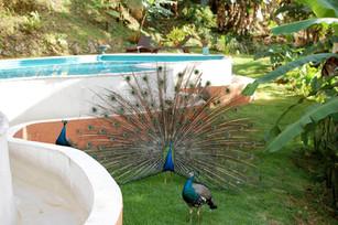 Pool & Peacocks