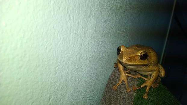 Common bush frog (Philautus neelanethrus)