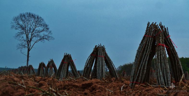Cassava Stalks after harvest (Buriram Province)