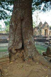 Ancient Mango Tree (Mamuang) at Muang Tam
