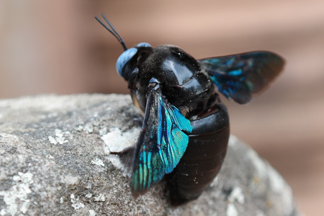 Thai Carpenter Bee (a current resident of Phanom Rung)