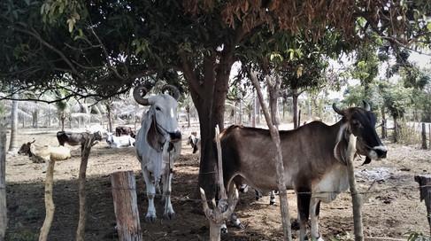 Cows in Thailand.jpg