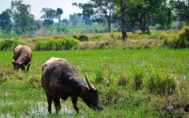 Water Buffalo (Buriram Province)