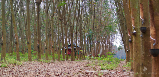 Rubber Trees in Buriram Province