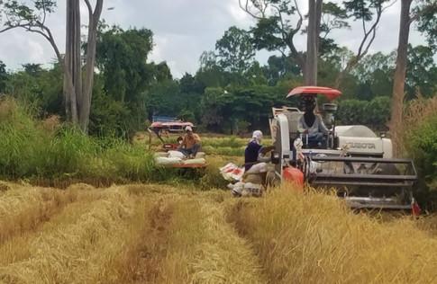 Thailand Rice Harvest Kubota.jpg